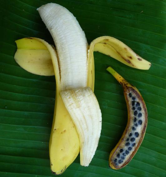 Banane de supermarché et banane sauvage