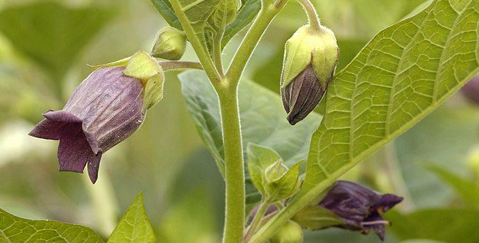 Les plantes qui font dormir et voir des diables sant nature innovation - Plante qui attire les moustiques ...