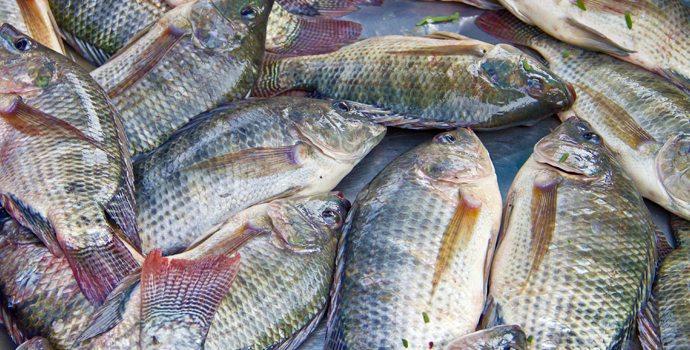 Ma pire lettre depuis l 39 origine sant nature innovation for Alimentation poisson elevage